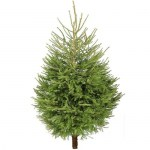 norway-spruce-fresh-cut-christmas-trees-p1852-21353_image